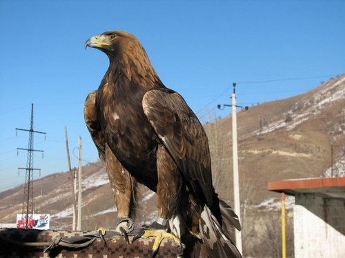 Central Asian Golden Eagle