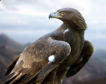 South European Golden Eagle