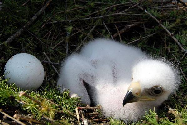 Golden Eagle eggs